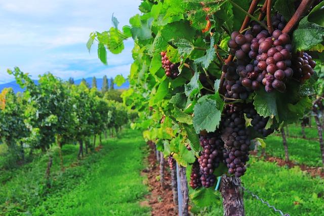 French Wine Vineyard
